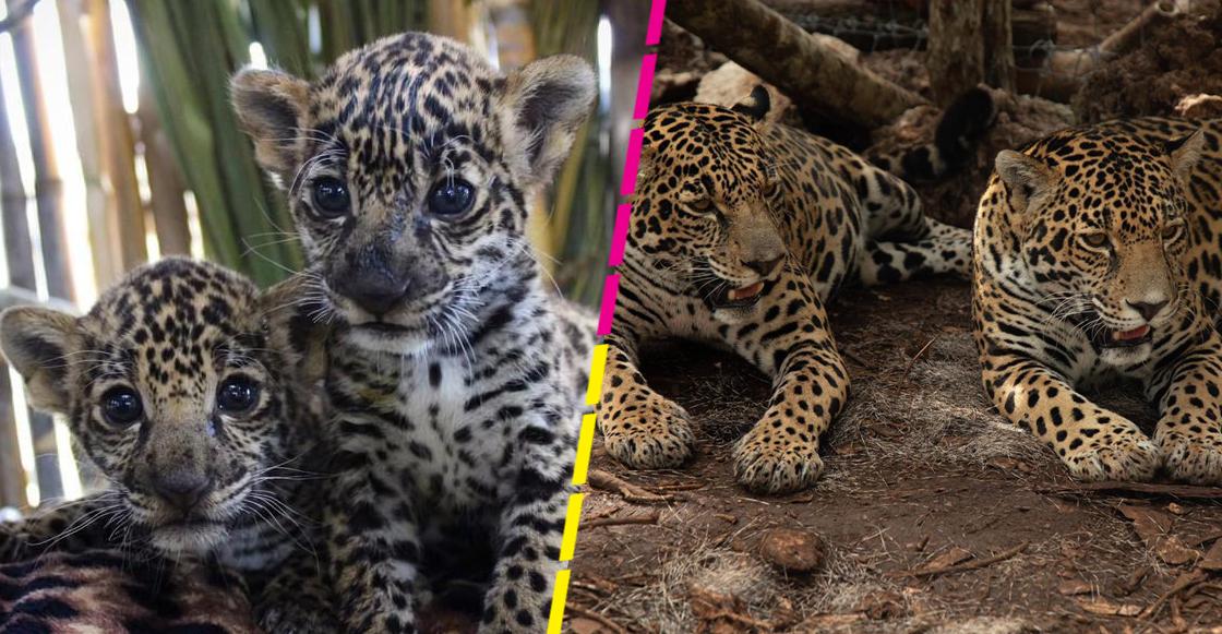 jaguares-conservacion-proyecto-gato
