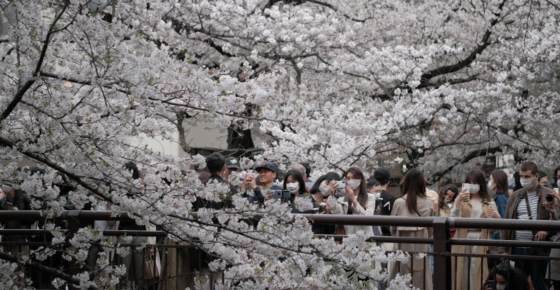 Cherry Tree Japan March Pink Flowers Climate Change Global Warming Worrying 01