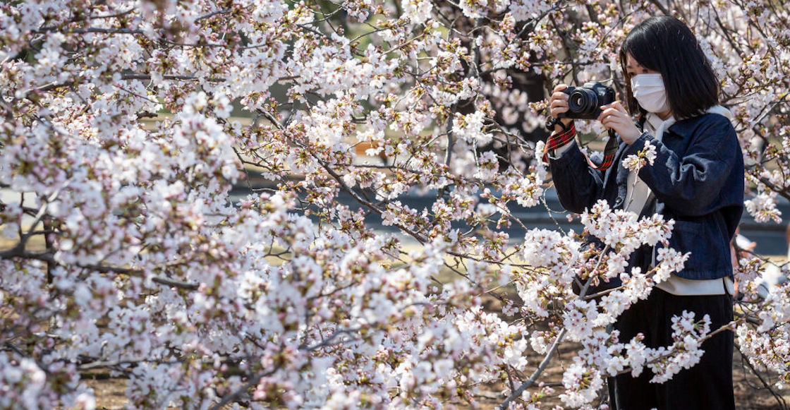 Cherry Tree Japan March Pink Flowers Climate Change Global Warming Worrying 02