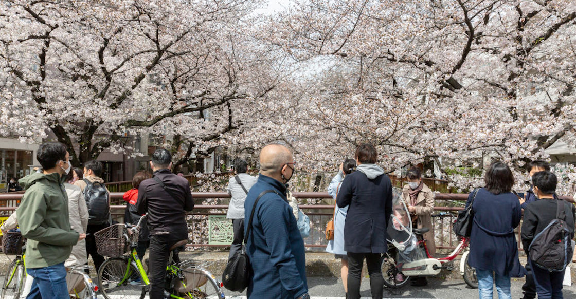Cherry Tree Japan March Pink Flowers Climate Change Global Warming Worrying 03