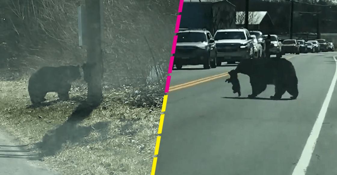 Ternura mil: Mamá osa batalla con sus cachorros al intentar cruzar la calle