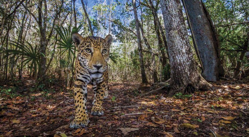 Ok!Belize protects 100,000 hectares of Mayan forest to protect jaguars