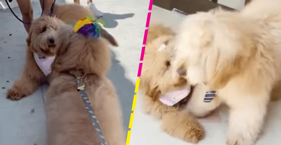 Ternura mil: Así reaccionaron estos perritos que se reencontraron tras un año sin verse