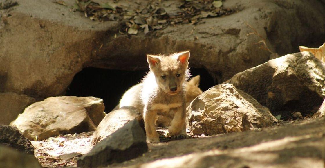 cinco-cachorros-lobo-mexicano-nacen-chapultepec