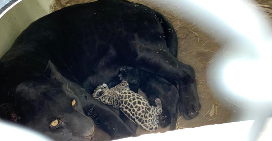 jaguares-san-luis-potosi