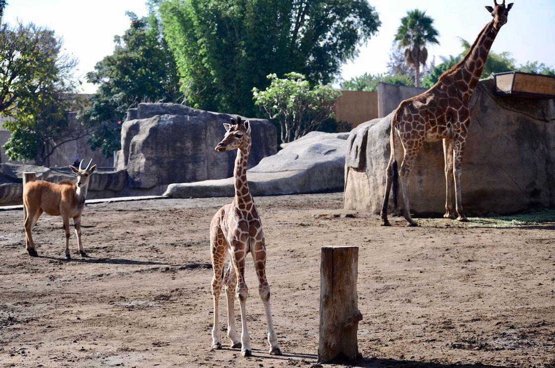 nace-jirafa-cdmx