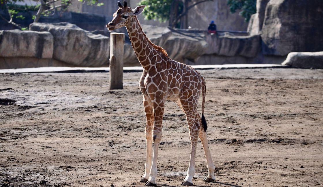 nace-jirafa-san-juan-aragon