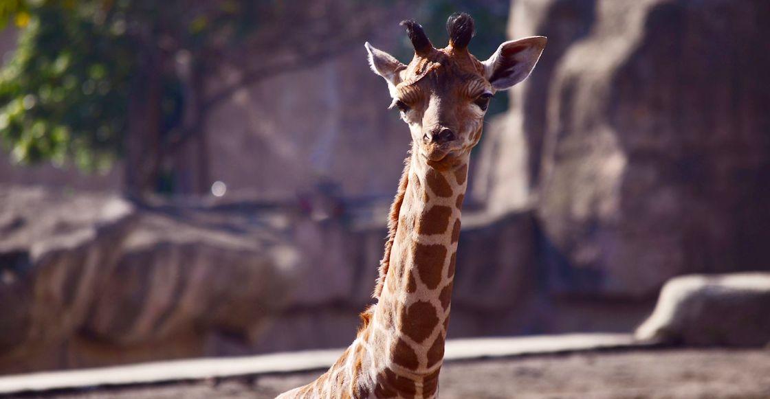 nace-jirafa-zoologico-cdmx