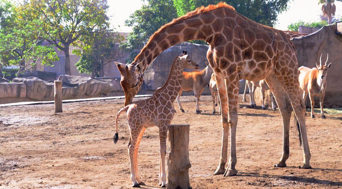 nace-jirafa-zoologico-san-juan-aragon-cdmx
