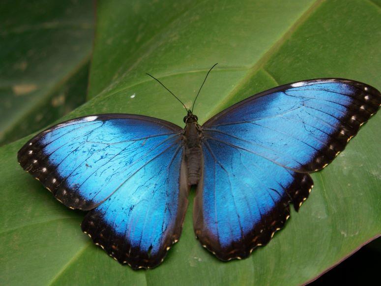 Científicamente, este es el primer insecto en extinguirse a causa de la actividad humana