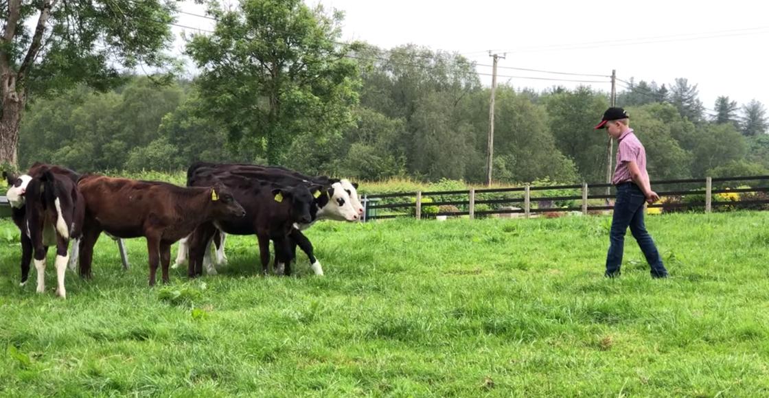 Una de emprendedores: Niño de diez años compra seis vacas con sus ahorros
