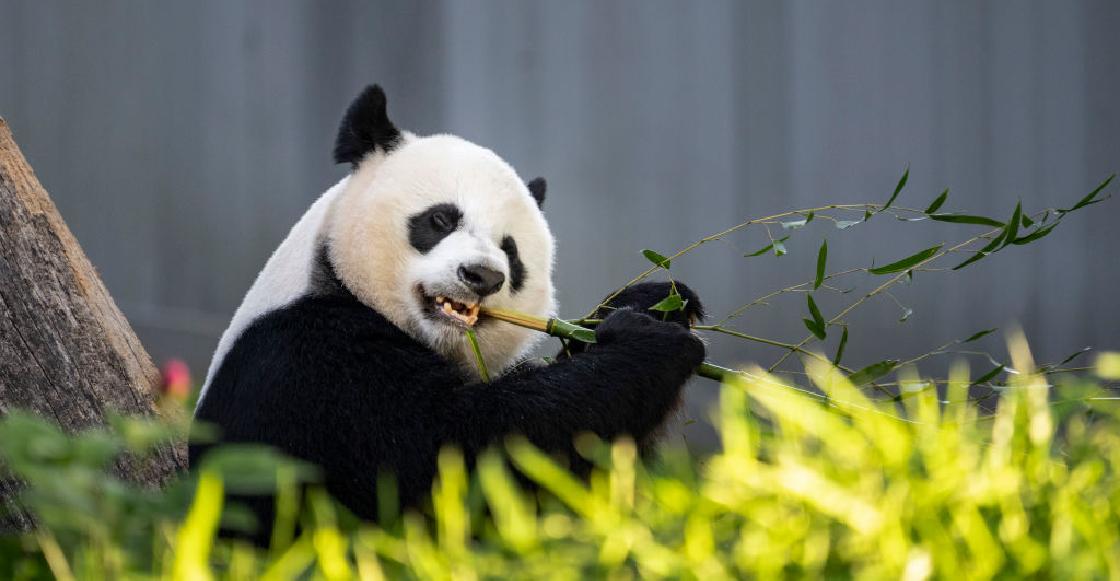 Anuncian en China que los pandas ya no están en peligro de extinción