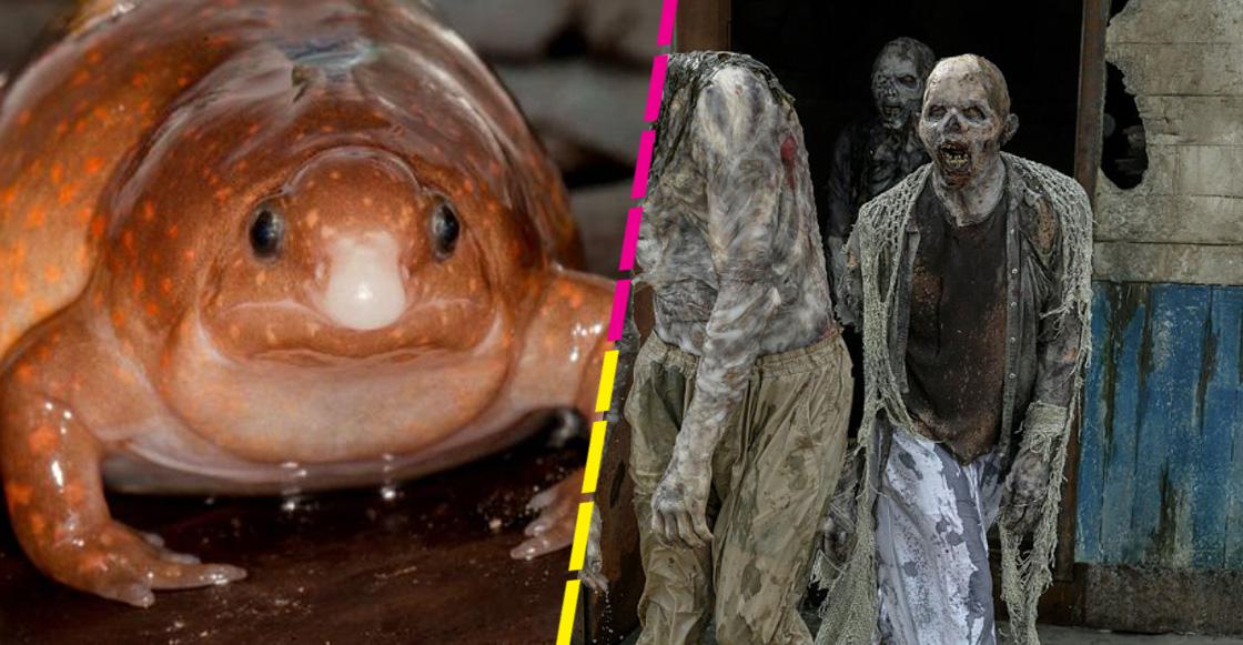 The Walking Frog: Descubren una nueva especie de rana 'zombie' en el Amazonas