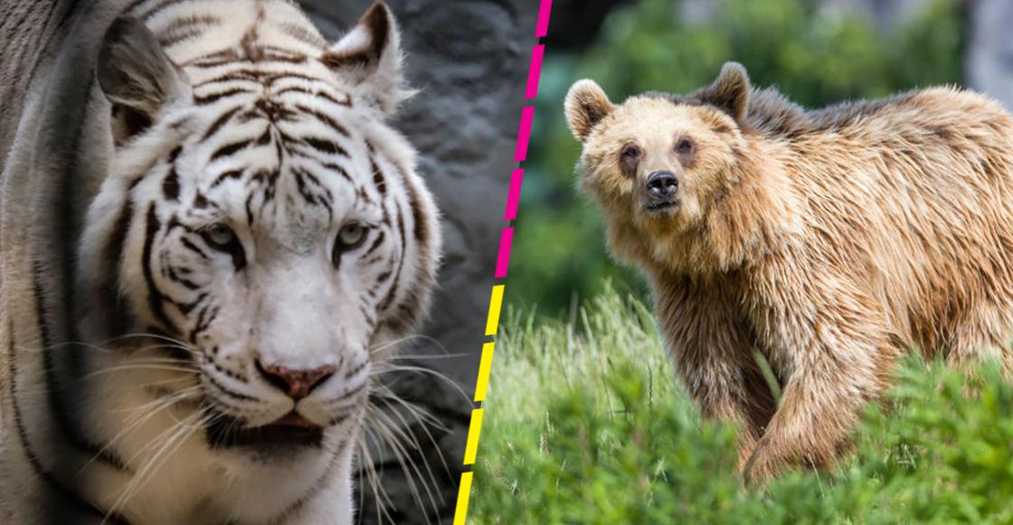zoologicos-estados-unidos-vacunan-animales-contra-covid