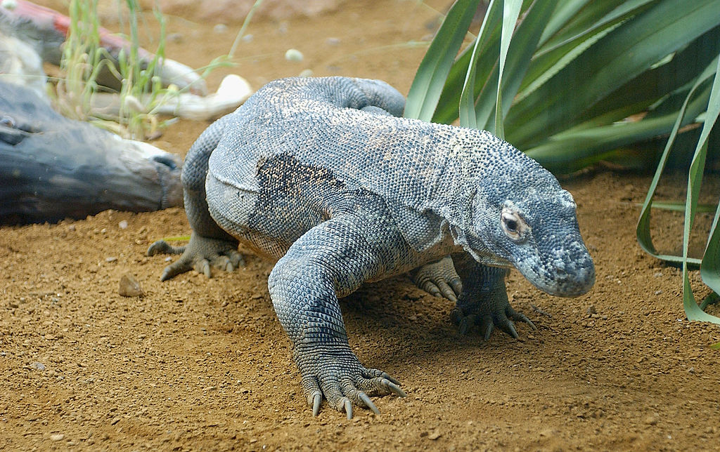dragon-komodo-indonesia