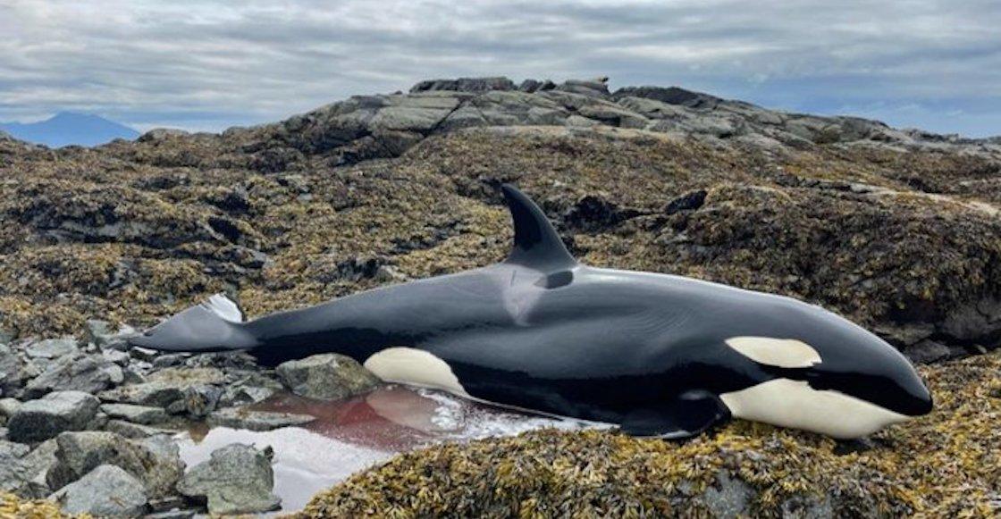 orca-atrapada-liberada-alaska