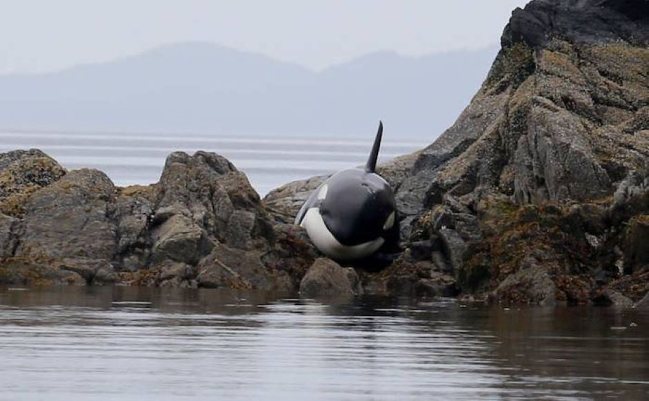 ¡Ternuringa! Orca que queda varada entre las rocas, suplica por ayuda