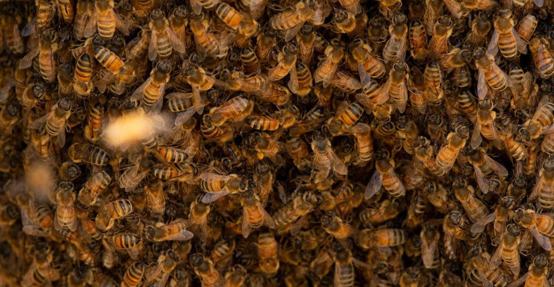 abejas-matan-pinguinos-peligro-extincion-sudafrica