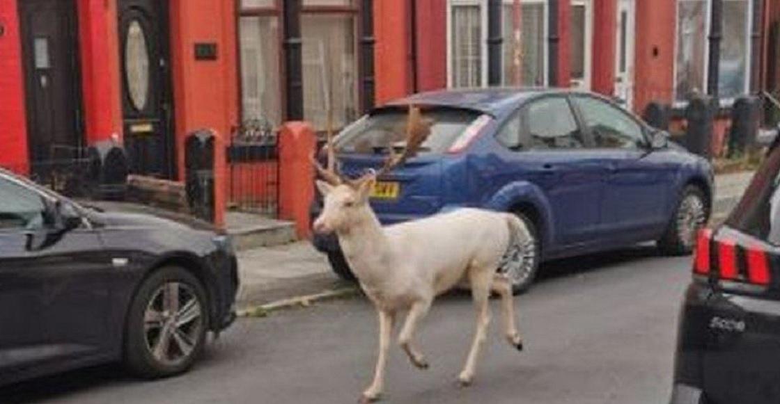 ciervo blanco Merseyside