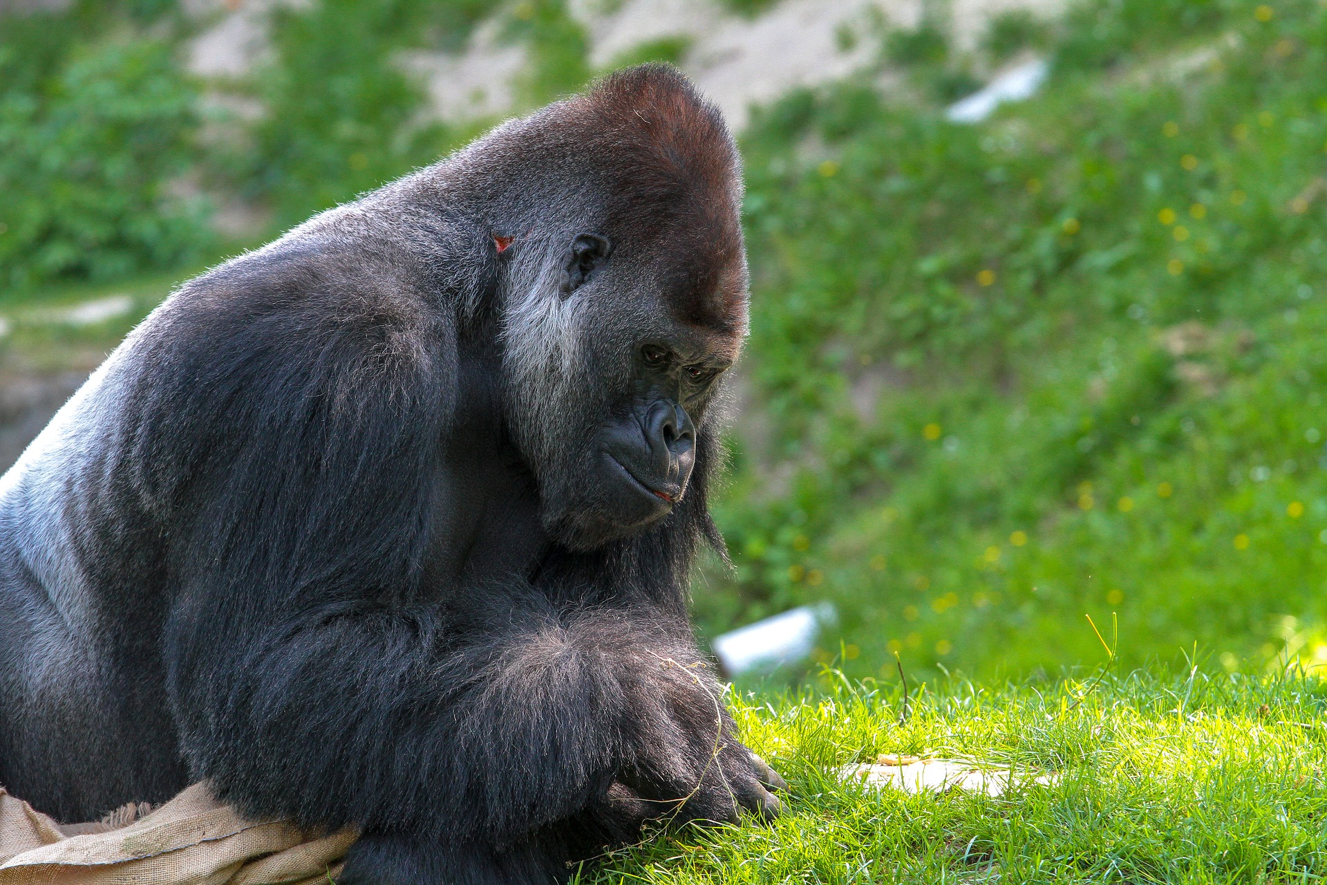 A group of gorillas infected with COVID-19 were found in a U.S. zoo