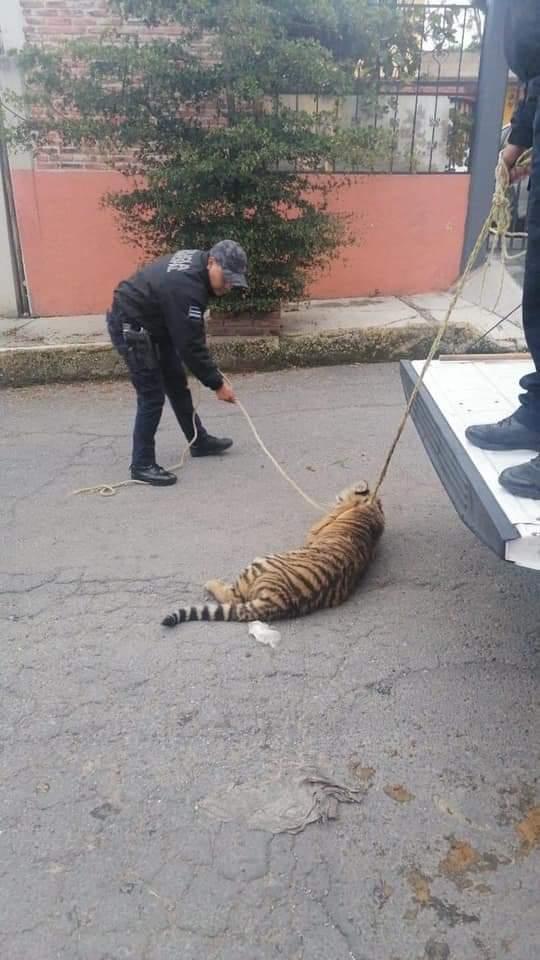 Y en el Edomex: Captan a tigre de bengala deambulando en Cuautitlán Izcalli
