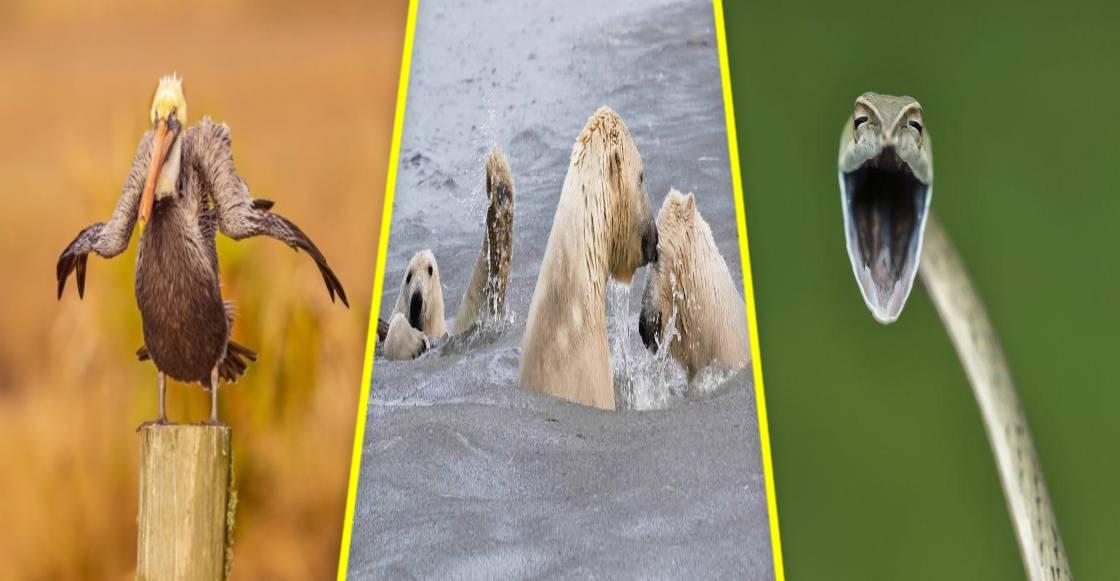 ¡Ternuringa! Estos son los finalistas del 'Comedy Wildlife Photo 2021'