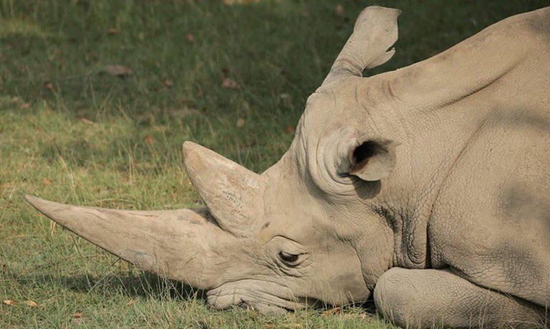 Toby-Older-White-Rhino-Dies