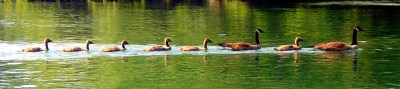 Geese in a line
