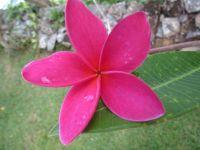 Plumeria, or frangipani.