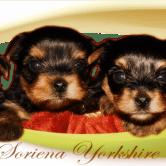 Cachorros-Soriena-Yorkshire-Terrier2 Cachorros