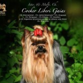 CH.-Cocker-Liberi-Gaias25 Mult. & Int Ch. Cocker Liberi Gaias