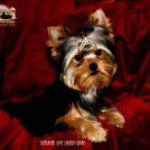 Sunshine-Live-Liberi-Gaias6 Cachorros