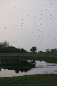 Vol d'hirondelle au dessus de l'eau