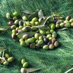 Sew olives nets