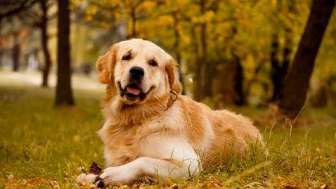 Golden Retriever: Conheça o nível de obediência da raça! - SOS Cãopanheiros