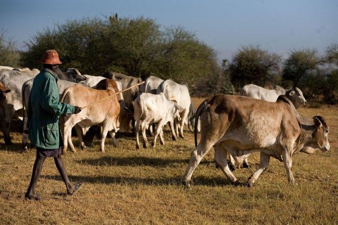 Boran Cattle | Dairy Farming Kenya | Beef Cattle Ranch