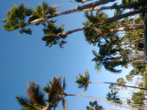 Palm trees against a blue sky in Aruba