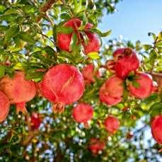 pommegranates-1-copy1