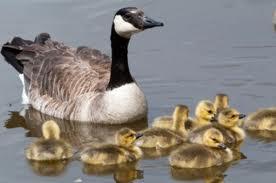 Mother-Goose-Gosling