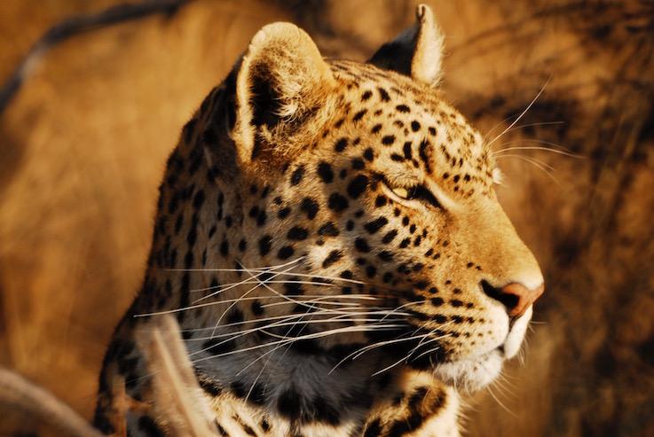 Sotto le stelle del Botswana, leopardo