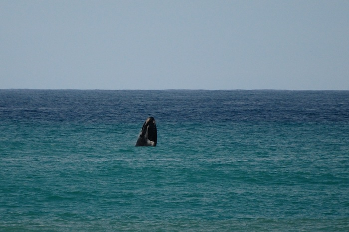 southern right whale, Big Seven, Soultravelling