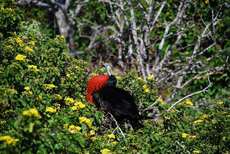 Fregata maschio alle Galapagos