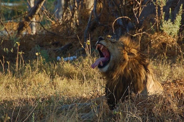 Kruger National park leone