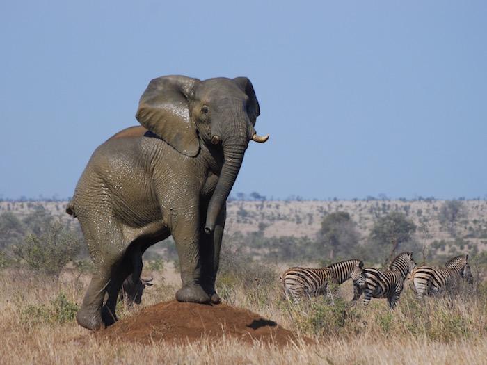 Perchè l'elefante è in via di estinzione