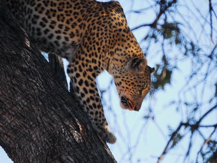 Safari tour Botswana scegli tuo stile. Leopardo