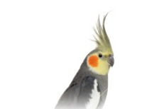 cockatiel mp3
