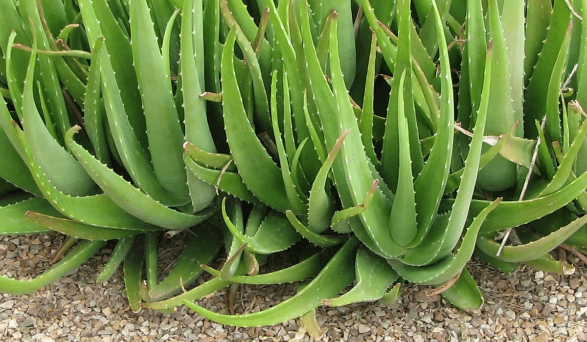 15 Interesting Facts You Did Not Know About Aloe Vera
