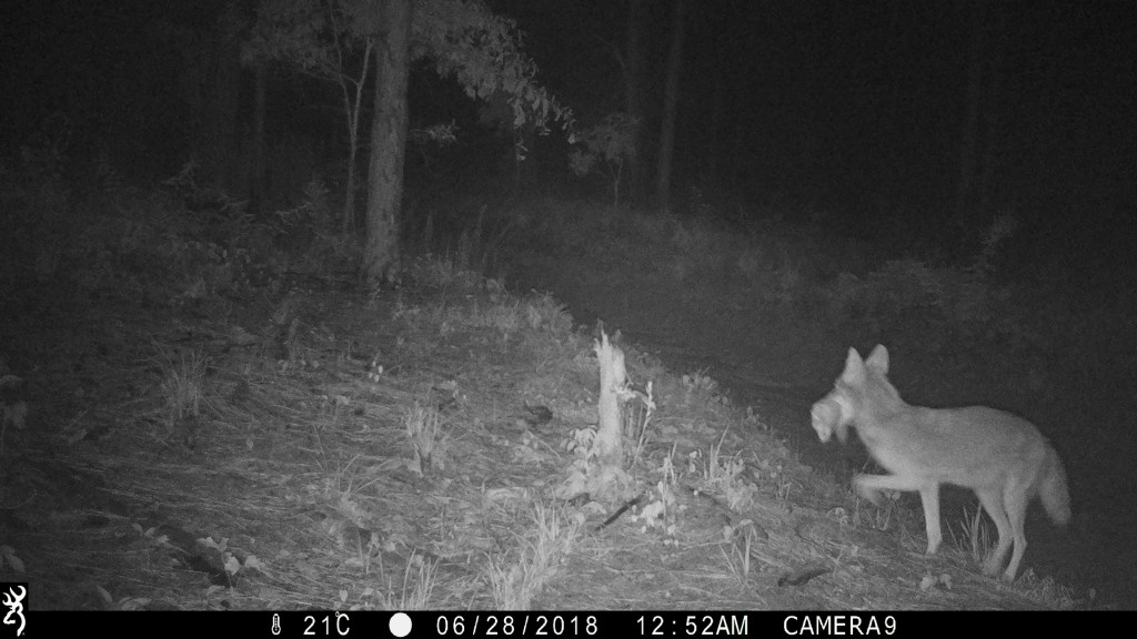 Night shot of a coyote carrying its prey through the woods.