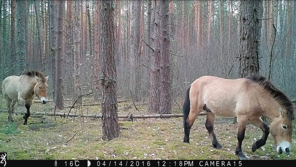 Two large horses walking through a wooded area.