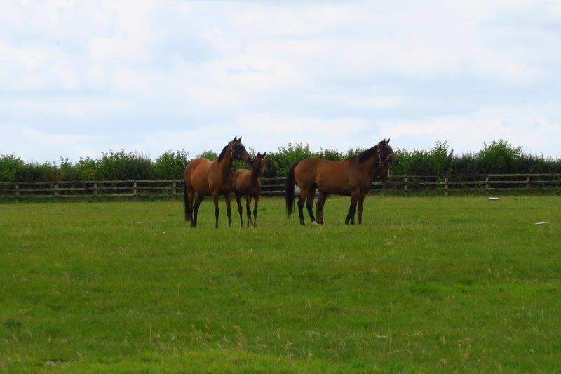 Mares and foals looking curious